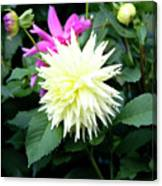 Beautiful And Fresh Dahlias In The Butchrt  Gardens,vancouver Island 2. Canvas Print