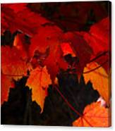 Beautiful Backlit Autumn Maple Leaves Canvas Print
