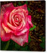 Beautiful Bicolor Rose Canvas Print