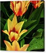 Beautiful Bicolor Tulips Canvas Print