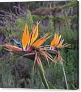 Beautiful Bird Of Paradise Flower In Bloom Canvas Print