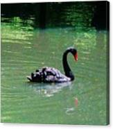 Beautiful Black Swan  Canvas Print