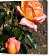 Beautiful Bloom Of The Rose Atlantic Star Canvas Print
