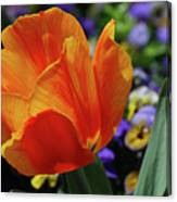 Beautiful Blooming Orange And Red Tulip Flower Blossom Canvas Print