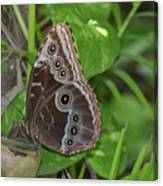 Beautiful Blue Morpho Butterfly Resting In A Garden  Canvas Print