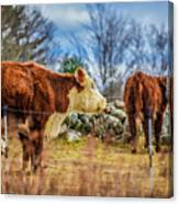 Beautiful Bovine With Side Eye Canvas Print