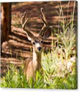 Beautiful Buck Deer In The Pike National Forest Canvas Print