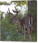 Beautiful Buck In Velvet Canvas Print
