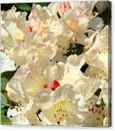 Beautiful Creamy White Pink Rhodies Floral Garden Baslee Troutman Canvas Print