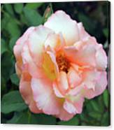 Beautiful Delicate Pink Rose On Green Leaves Background. Canvas Print
