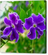 Beautiful Duranta Flower Blossoming Canvas Print