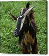Beautiful Face Of A Billy Goat With Tan And Black Silky Fur Canvas Print