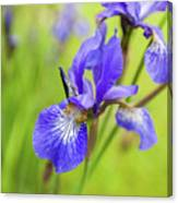 Beautiful Flower Iris Canvas Print