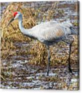 Beautiful Day For A Walk -sandhill Crane   Canvas Print