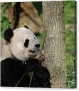 Beautiful Giant Panda Bear In The Wild Canvas Print