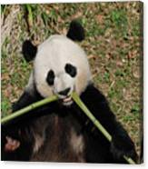 Beautiful Giant Panda Eating Bamboo From The Center Canvas Print