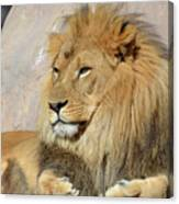 Beautiful Golden African Lion Relaxing In The Sunshine Canvas Print