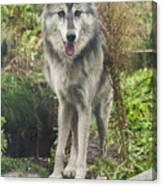 Beautiful Gray Wolf Canvas Print