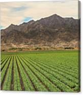 Beautiful Lettuce Field Canvas Print