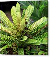Beautiful Lime Bromeliad Canvas Print
