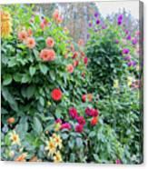 Beautiful Lot Of Dahlias,butchart Gardens,victoria,canada Canvas Print