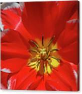 Beautiful Macro Of A Red Blooming Tulip Canvas Print