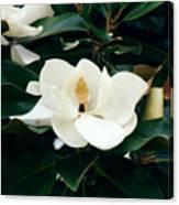 Beautiful Magnolia  Canvas Print