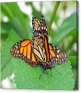 Beautiful Monarchs Canvas Print