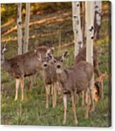 Beautiful Mule Deer Herd Canvas Print