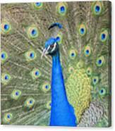 Beautiful Peacock Walking Around Canvas Print