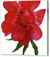Beautiful Peony Flower. Canvas Print