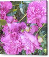 Beautiful Pink Peonies Canvas Print
