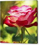 Beautiful Pink Rose Blooming In Garden Canvas Print
