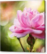 Beautiful Pink Rose Blooming In Garden With Natural Bokeh Canvas Print