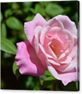 Beautiful Pink Rose Canvas Print