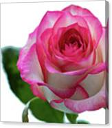 Beautiful Pink Rose With Leaves On A Wite Background. Canvas Print