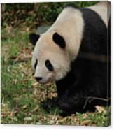 Beautiful Profile Of A Giant Panda Bear Ambling Along Canvas Print