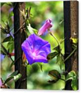Beautiful Railroad Vine Flower II  Canvas Print