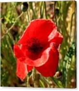 Beautiful Red Poppy Canvas Print