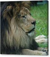 Beautiful Resting Lion In Tall Green Grass Canvas Print