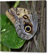 Beautiful Shot Of A Brown Morpho Butterfly Resting  Canvas Print