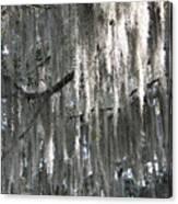 Beautiful Spanish Moss Canvas Print