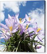 Beautiful Spring Flower Blossom In Sky Background Canvas Print
