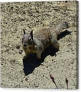 Beautiful Squirrel Standing In A Sandy Area In California Canvas Print