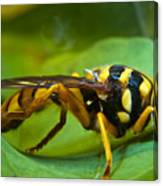 Beautiful Syrphid Canvas Print
