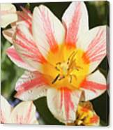 Beautiful Tulip With A Yellow Center And Pink Striped Petals Canvas Print