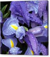 Beautiful Violet Colored Iris Flower With Rain Drops Canvas Print