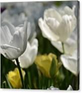 Beautiful White Tulips Canvas Print