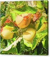 Beautiful Yellow Apple Canvas Print