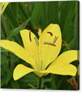 Beautiful Yellow Lily In A Garden During Spring Canvas Print
